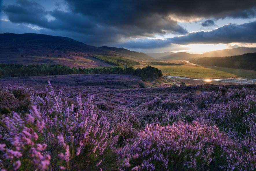paisagem-escocesa-escocia-flores-urzes-Aberdeenshire