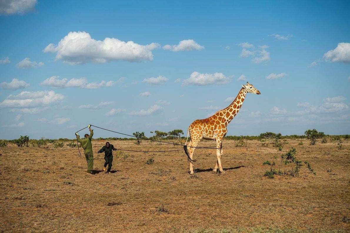 Cientistas acolhem um total de 11 girafas no Conservatório de Vida Selvagem de Loisaba e no ...