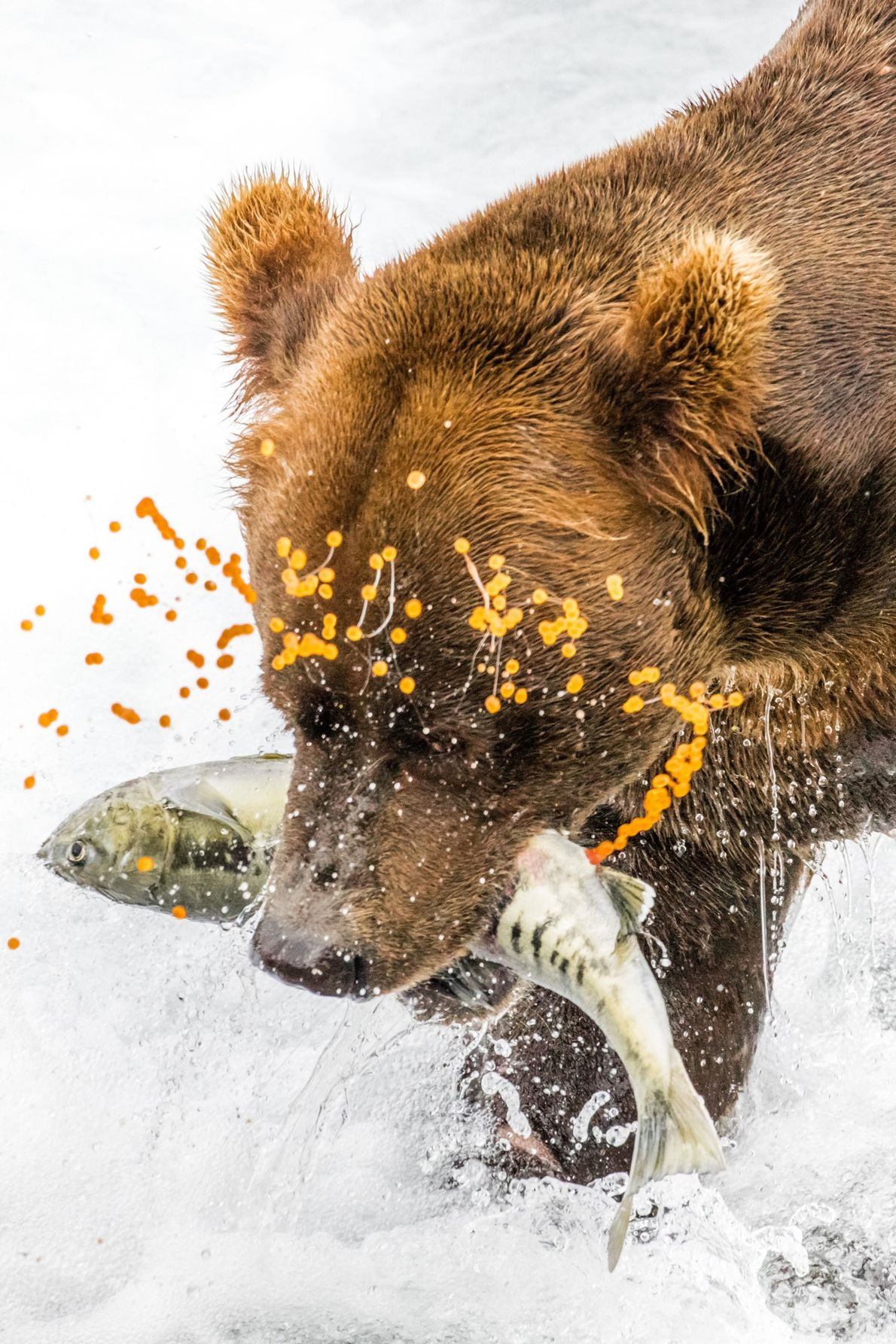 galeria-de-fotos-animais-em-acao-urso-salmao