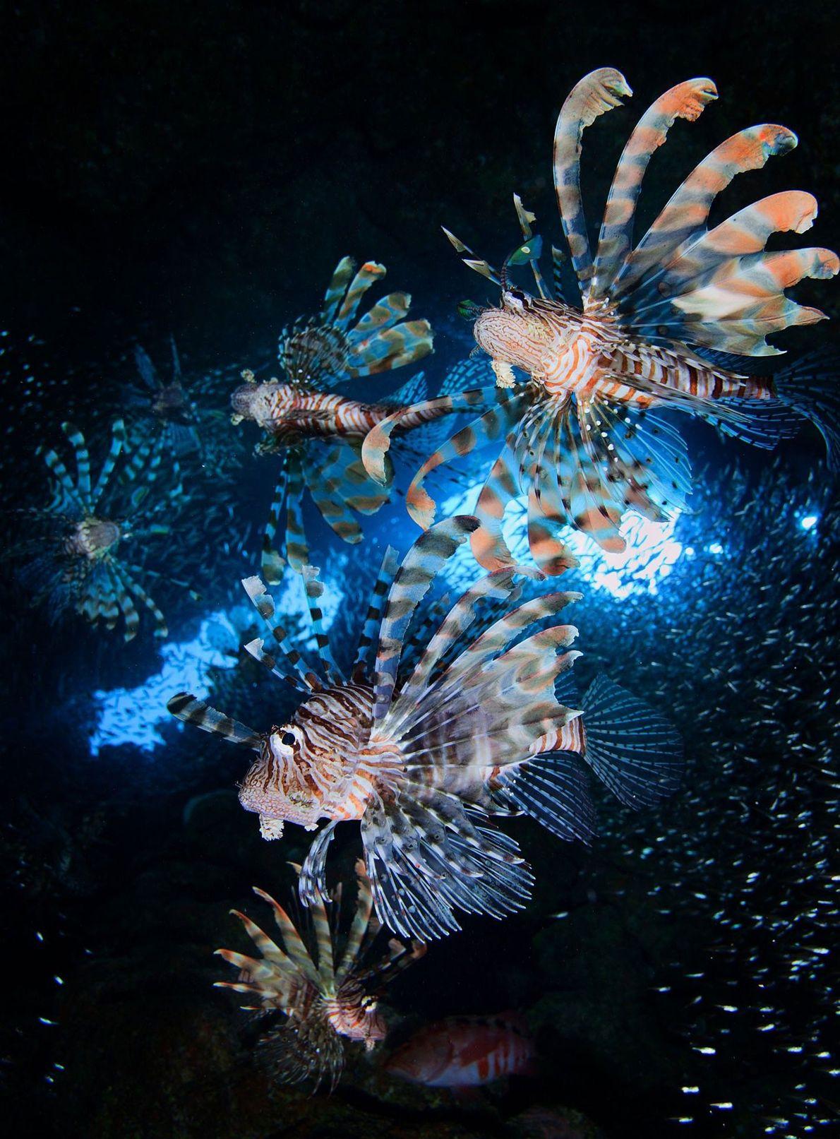 Lion fish. Dhahab, Muhafazat Janub Sina', Egypt