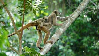 Como esta cientista trabalha para reabilitar o maior e mais raro macaco das Américas