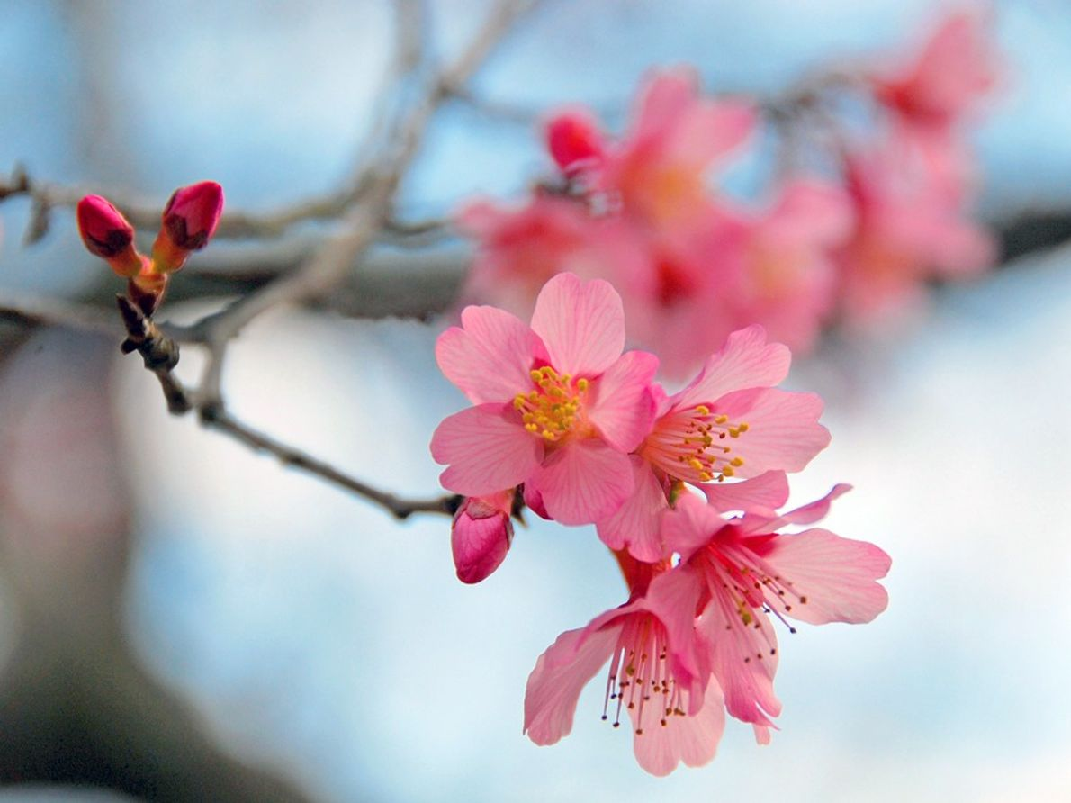 foto de flor de cerejeira