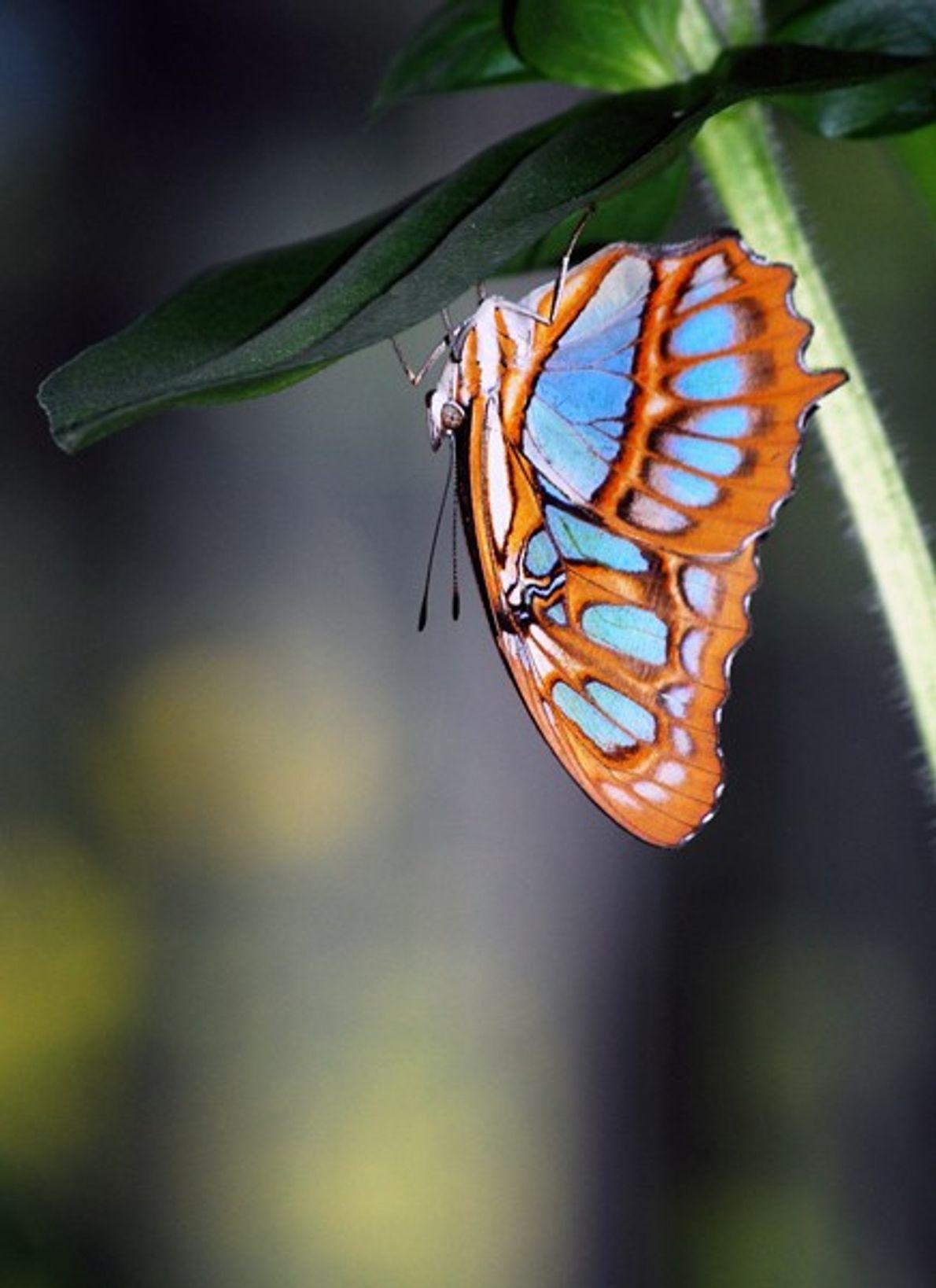foto de borboleta de malaquite