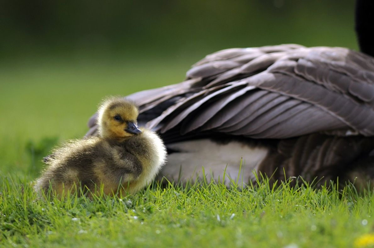 foto de ganso filhote