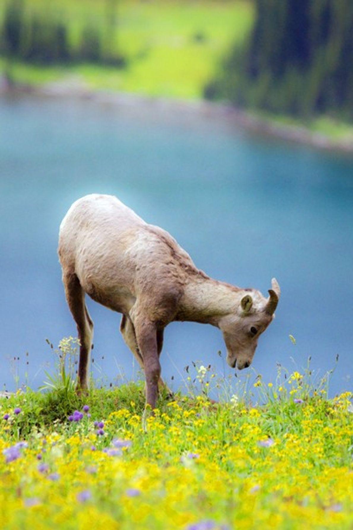 foto de cordeiro passa por lago nos estados unidos