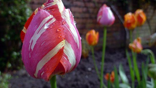 foto de tulipa molhada