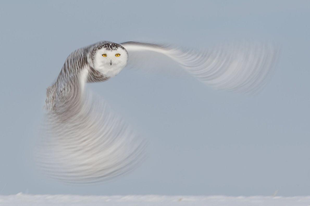 galeria-de-fotos-animais-em-acao-coruja-das-neves