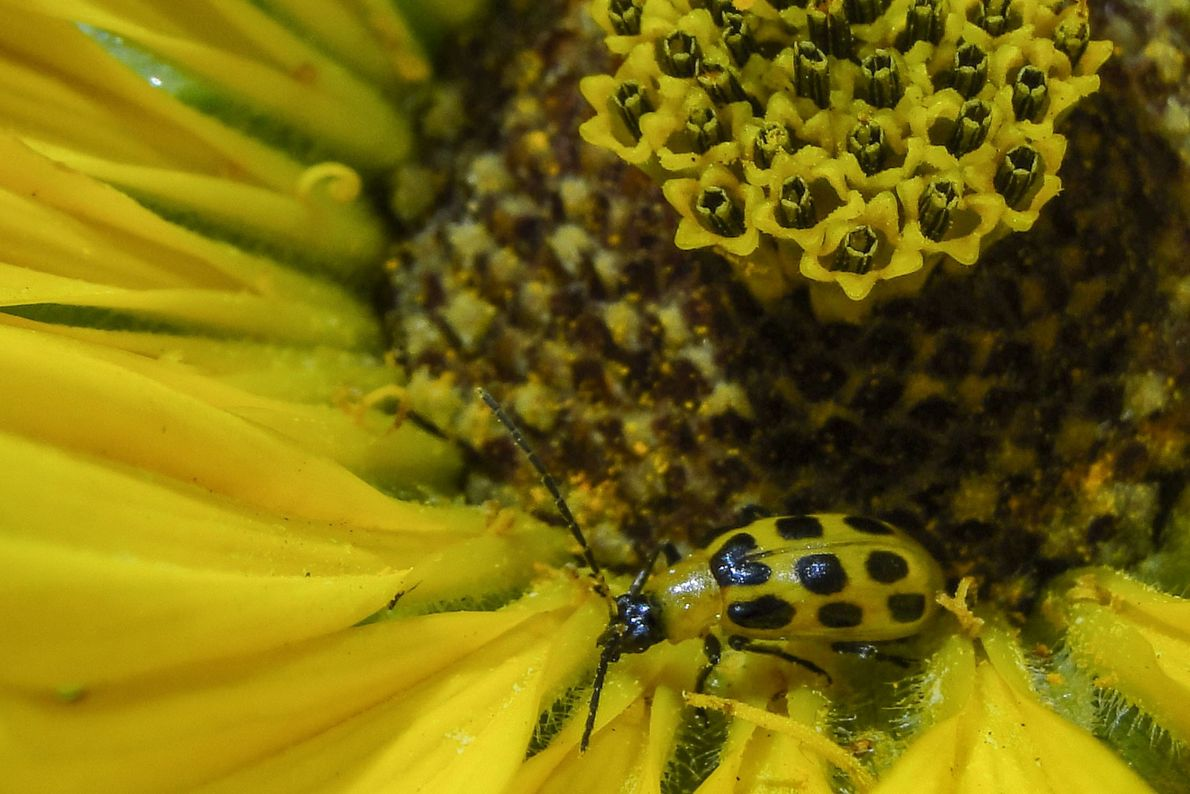 Spotted cucumber beetle. New York City, New York, United States