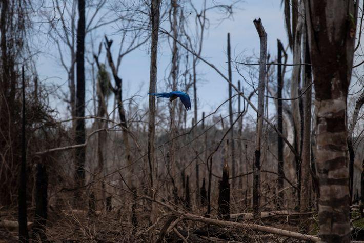 arara-canindé voa por entre árvores mortas
