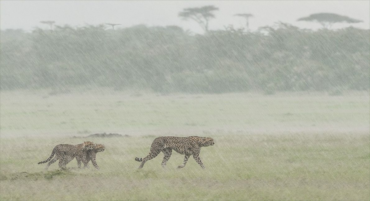 guepardo e filhotes