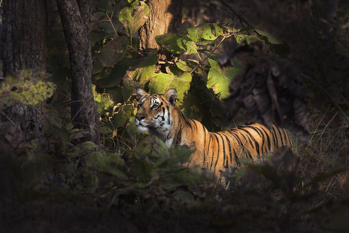 Tiger. Gumtara, Madhya Pradesh, India