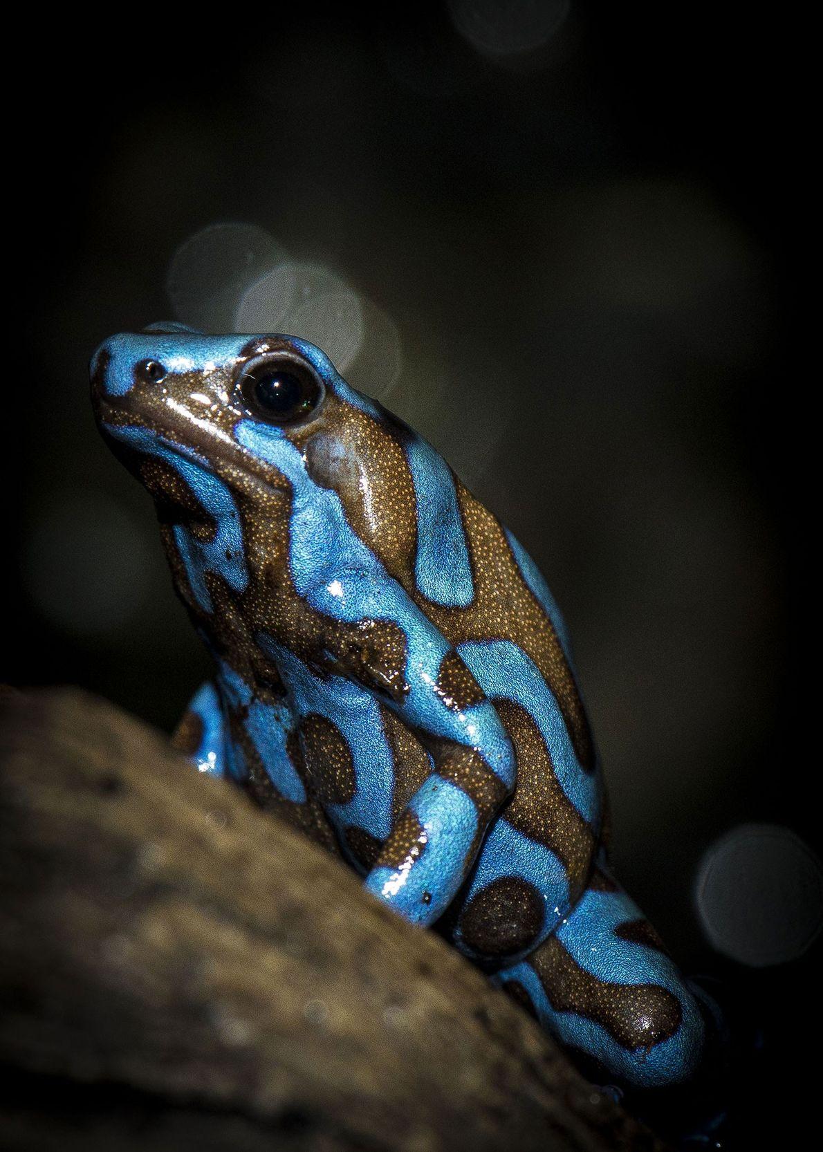 Poison dart frog. Houston, Texas, United States