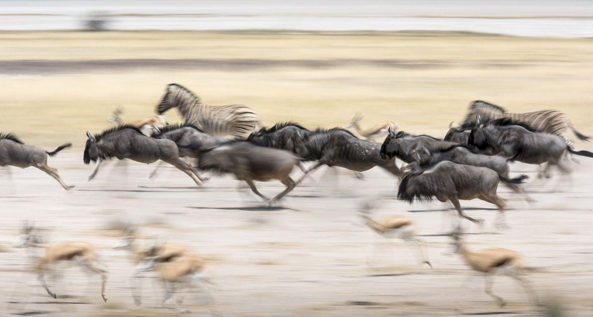galeria-de-fotos-animais-em-acao-gnus-cervos-zebras