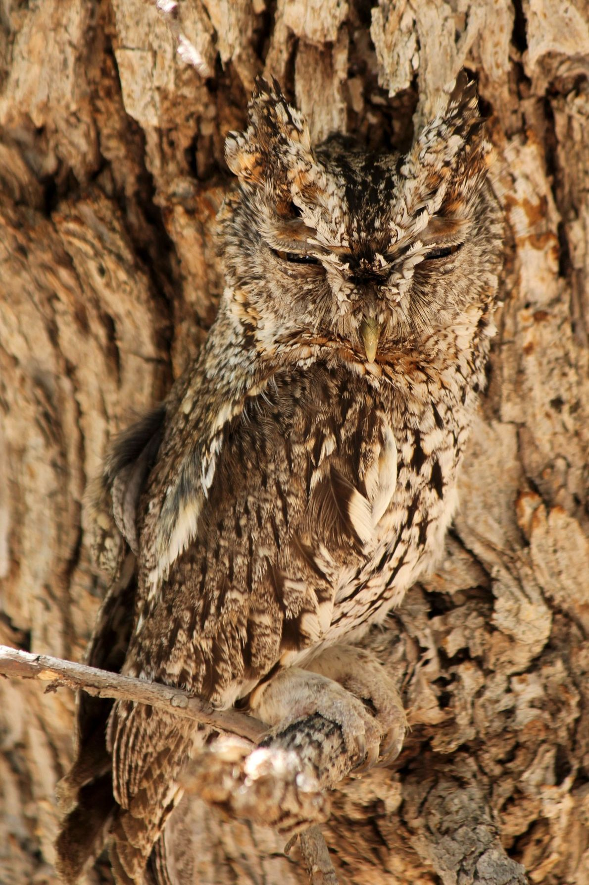 Whiskered screech owl. Cave Creek Canyon, Arizona, United States