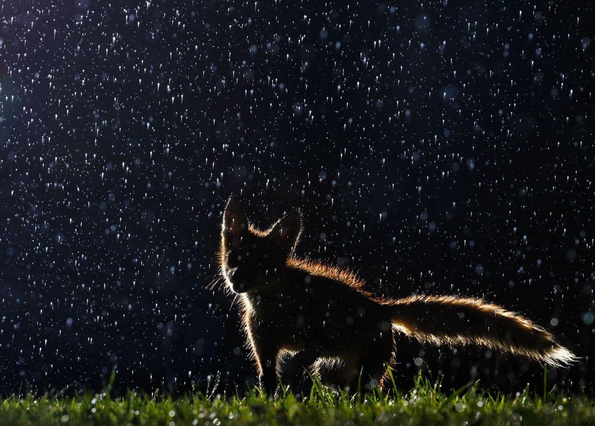 galeria-de-fotos-animais-em-acao-raposa-na-chuva