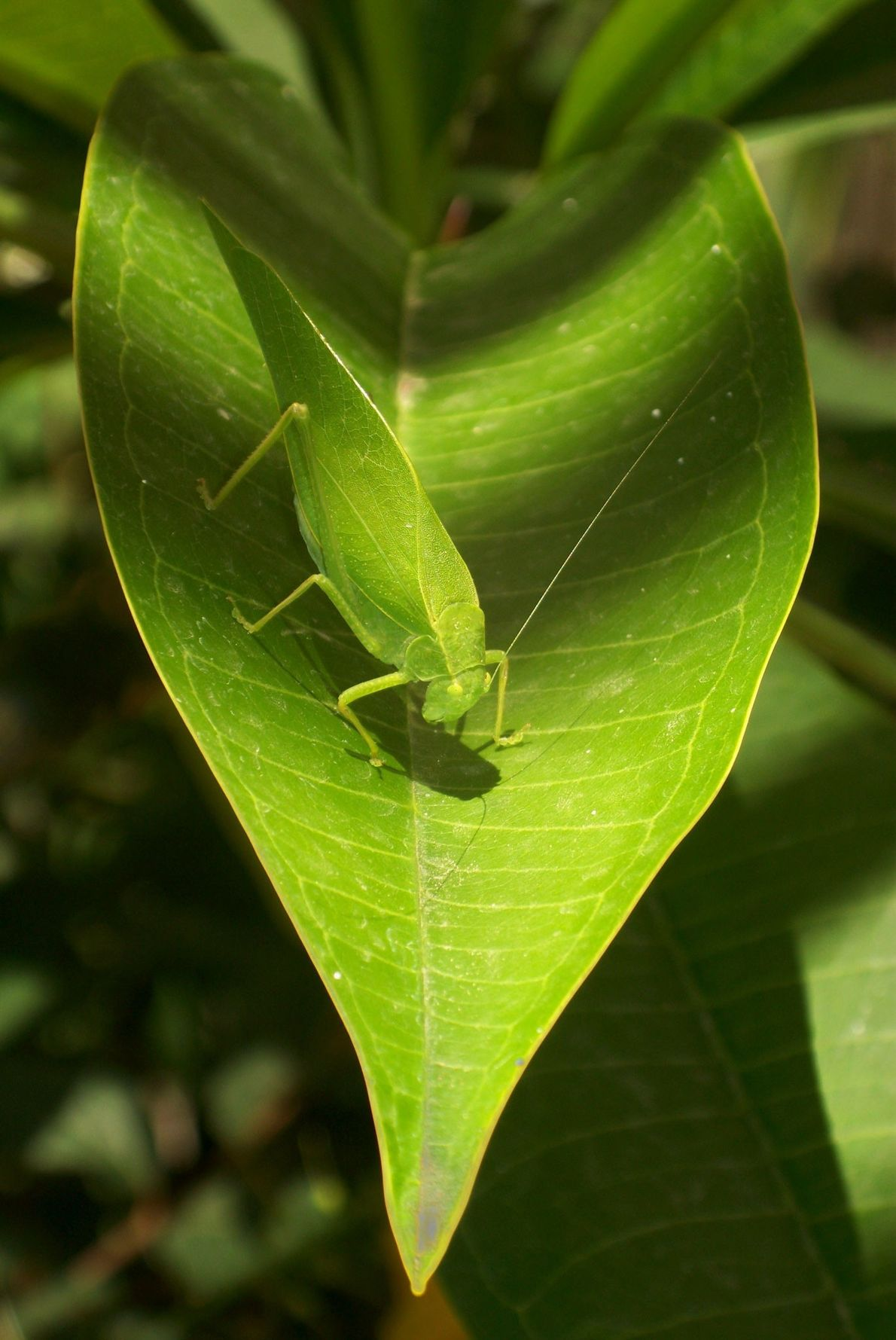 Katydid. Santa Fe, New Mexico, United States