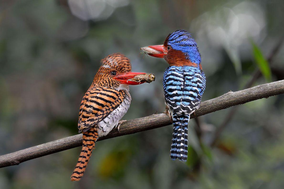 Banded Kingfishers. Nakhon Ratchasima, Thailand