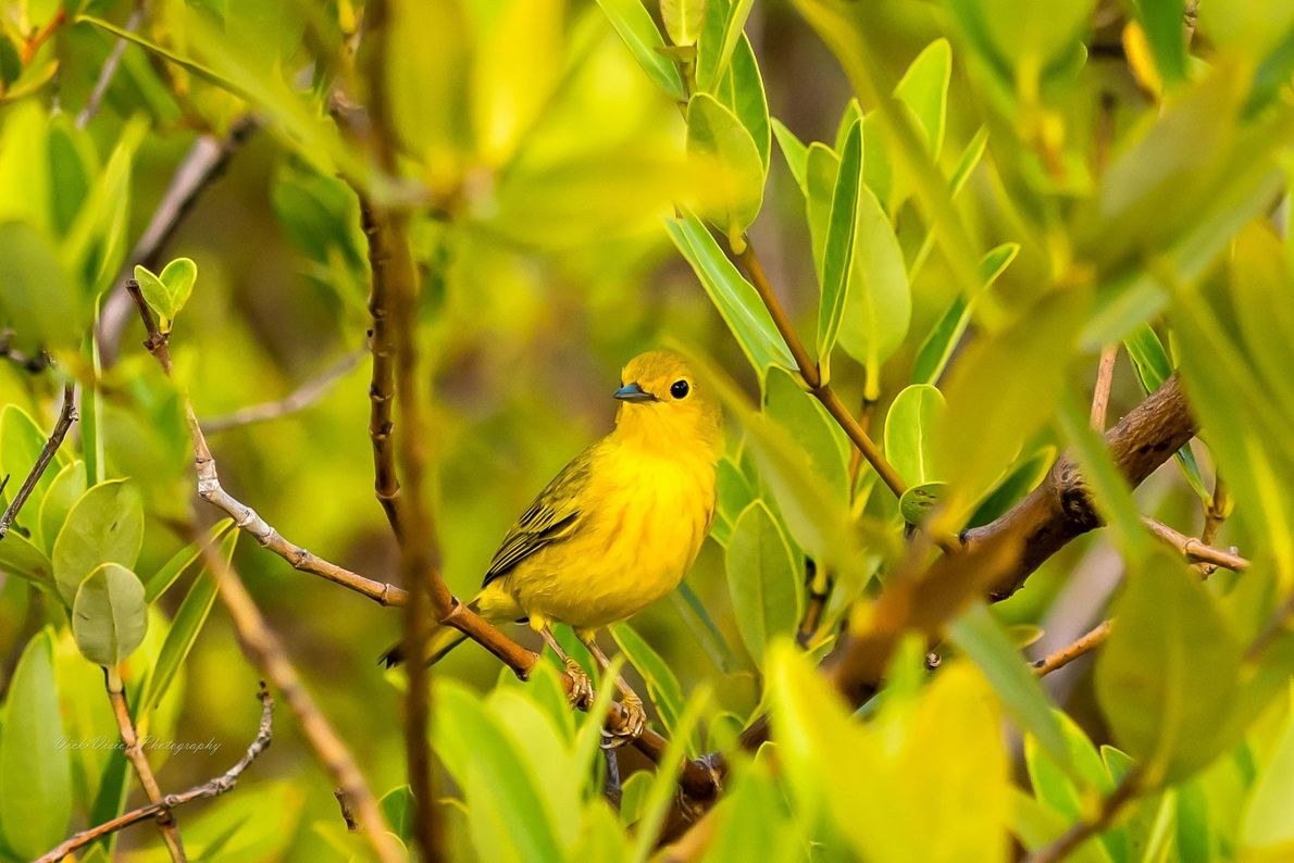 "Yellow ""mangrove"" warbler. Road Town, None, British Virgin Islands"
