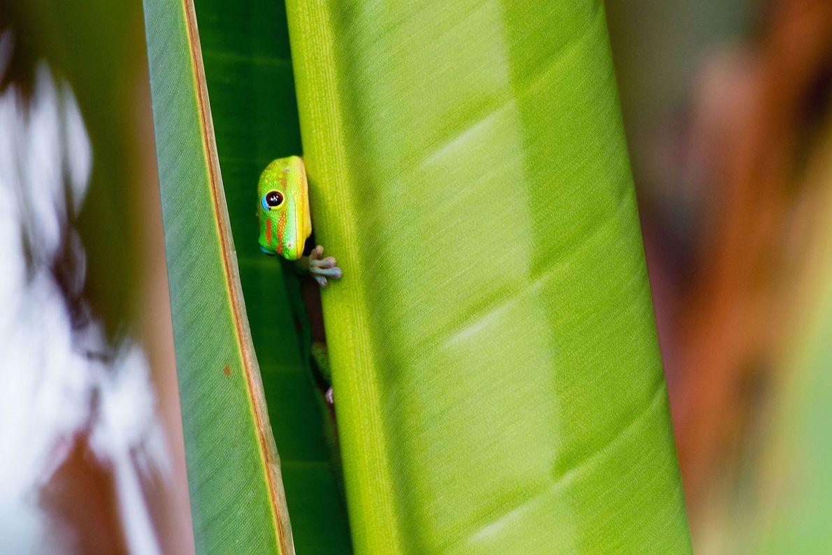 Gecko. Keaukaha, Hawaii, United States