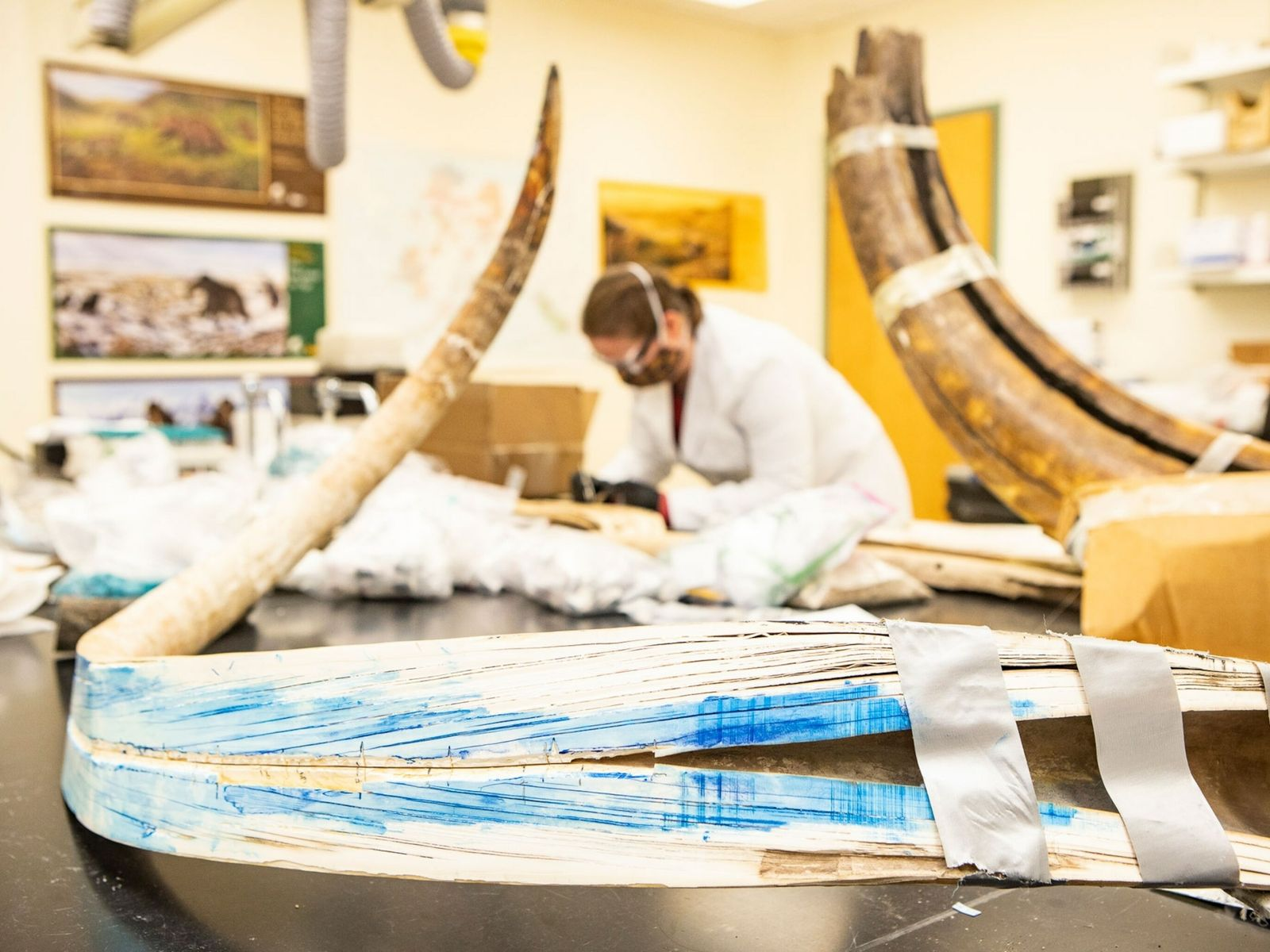 Dente de mamute cortado ao meio (primeiro plano), na Alaska Stable Isotope Facility, na Universidade do ...