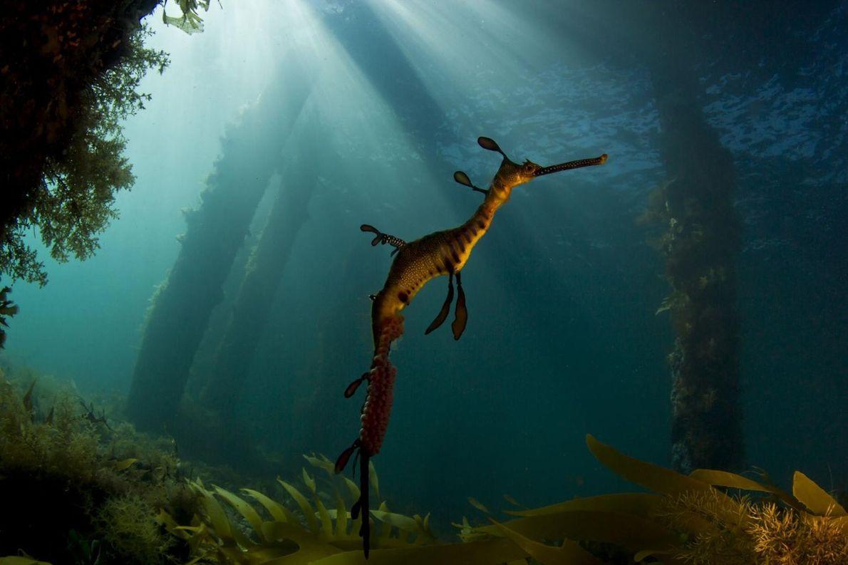 Dragão-marinho