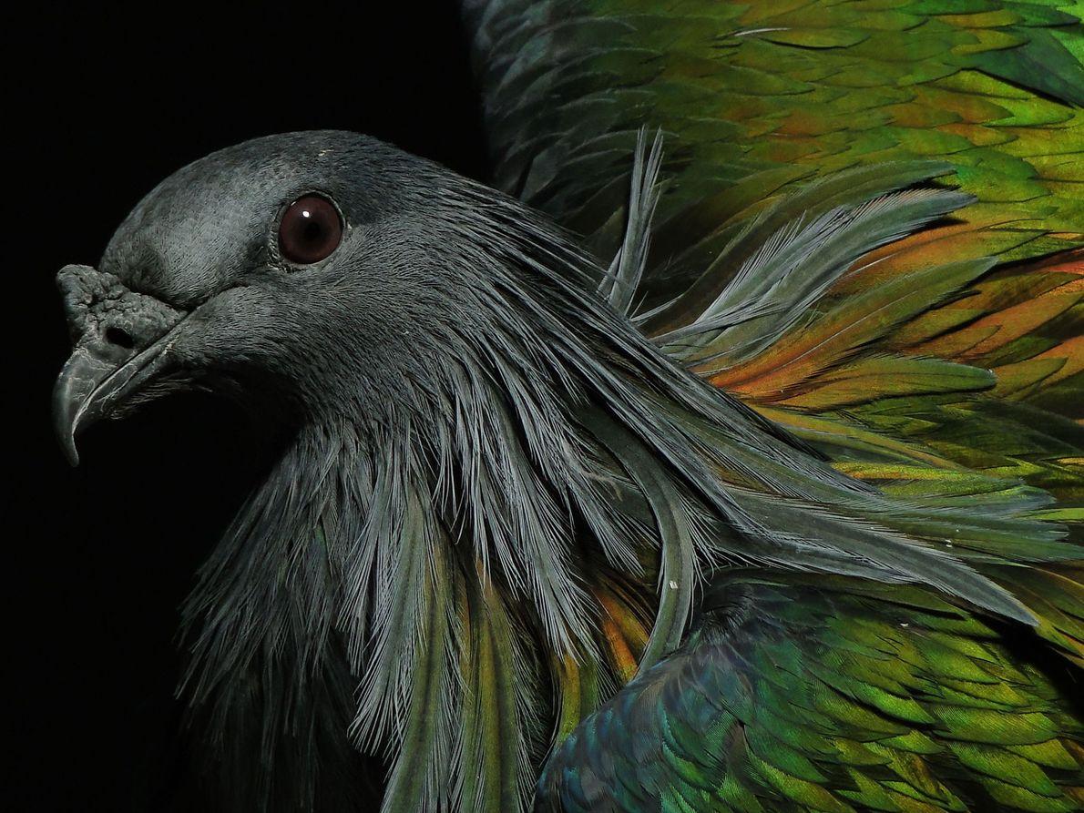 Nicobar pigeon. New York City, New York, United States