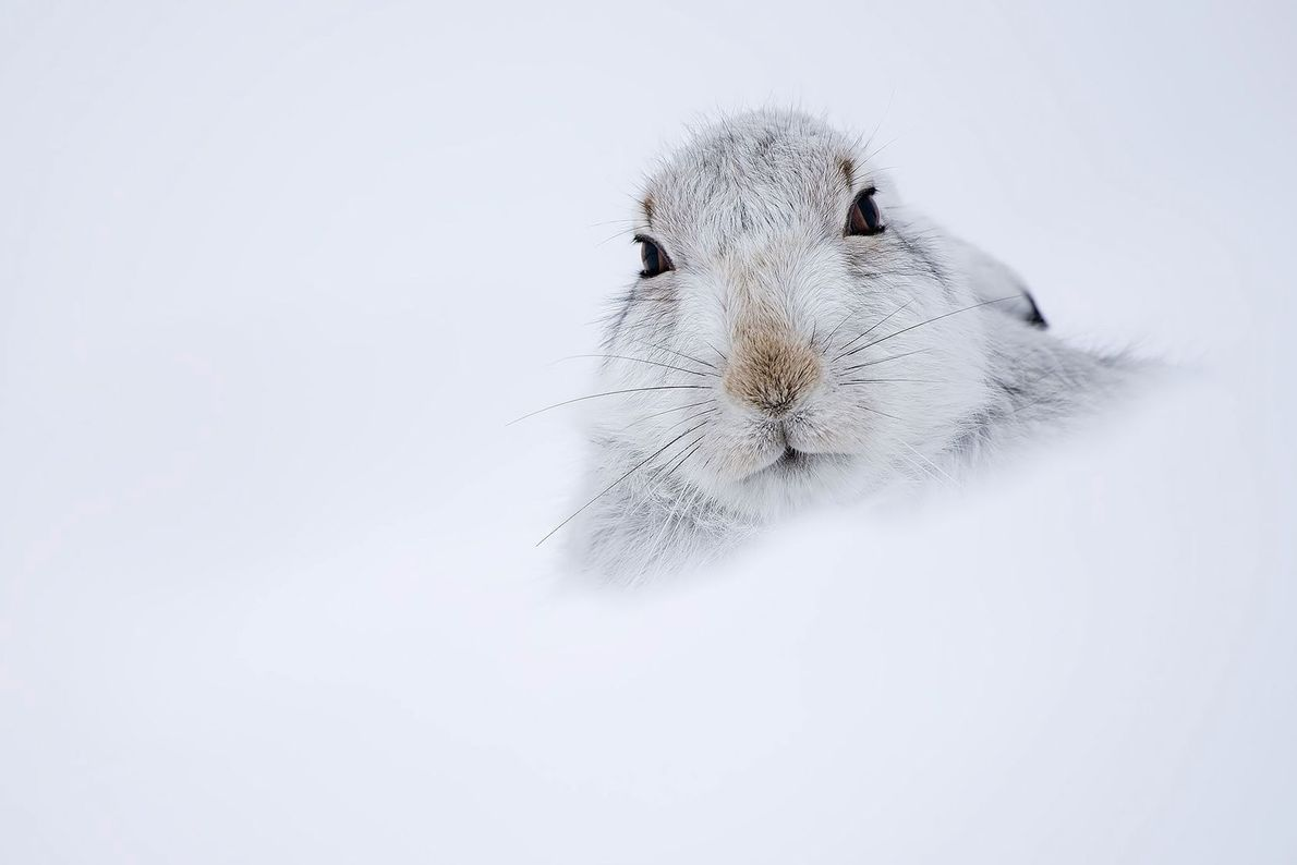 Mountain hare. United Kingdom