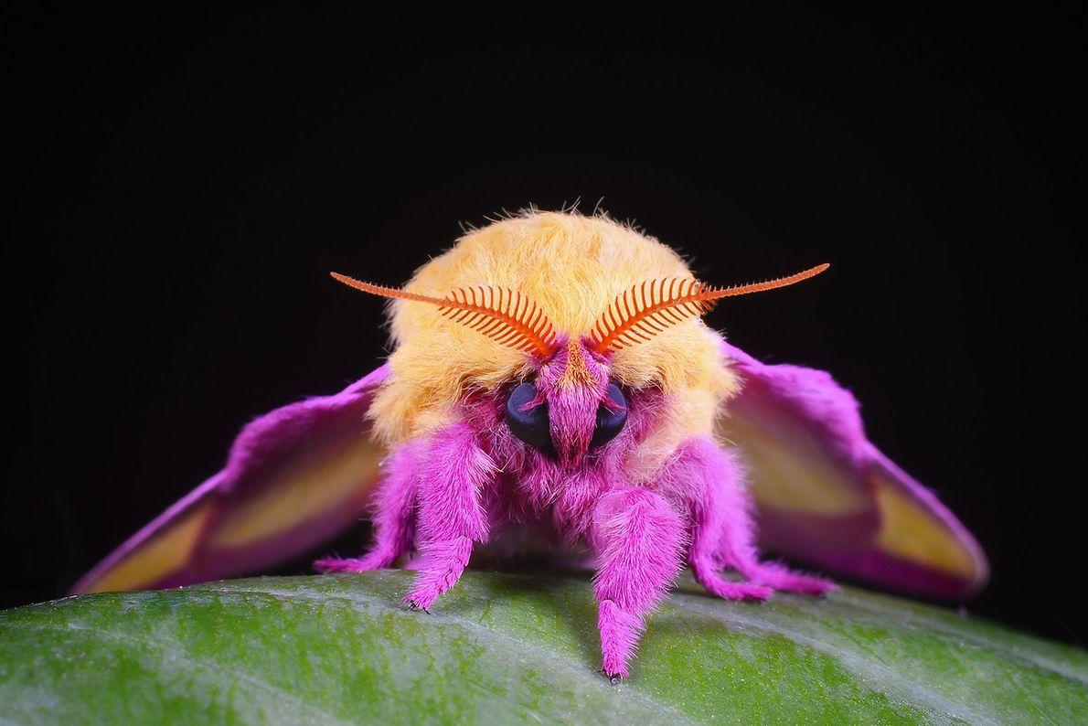 Rosy maple moth. Evington, Virginia, United States