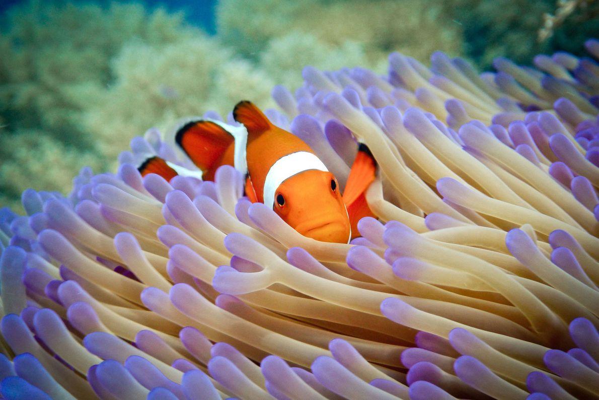 Clownfish. Pulau Menjangan, Bali, Indonesia