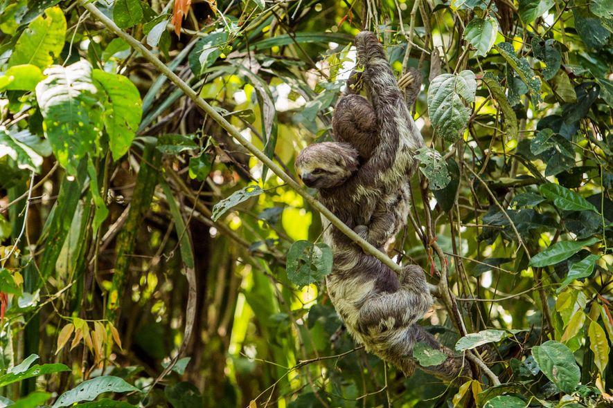 No Parque Ecológico Januari, uma preguiça selvagem e seu bebê se agarram à vegetação. O biólogo ...