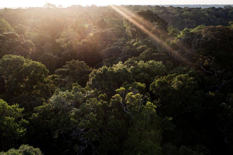 Uma torre na reserva do Museu da Amazônia oferece uma vista deslumbrante da floresta, sem a ...