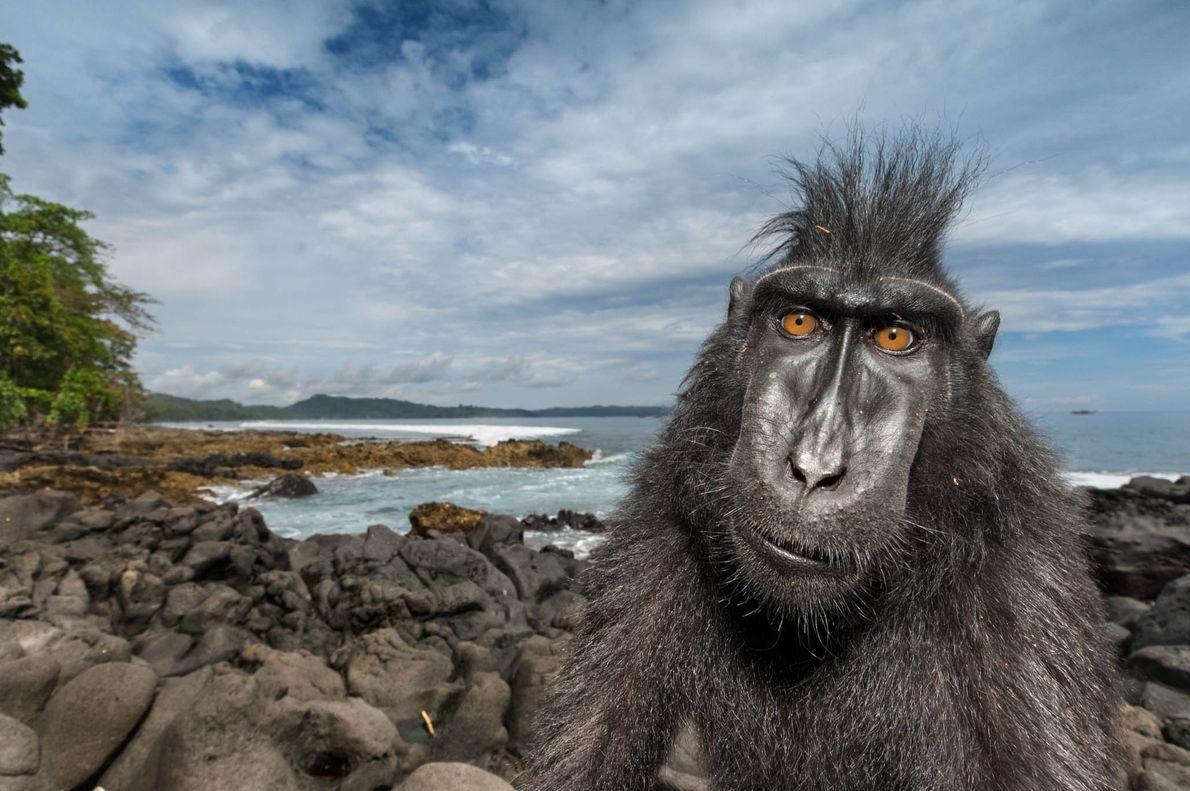 Uma macaca nigra de crista preta curte a praia em uma reserva natural na Ilha Sulawesi ...