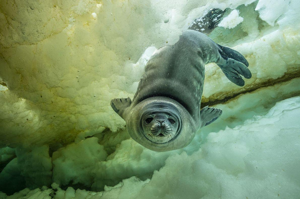 Uma jovem e curiosa foca-de-weddel , com semanas de vida, se aproxima para um close. Este ...