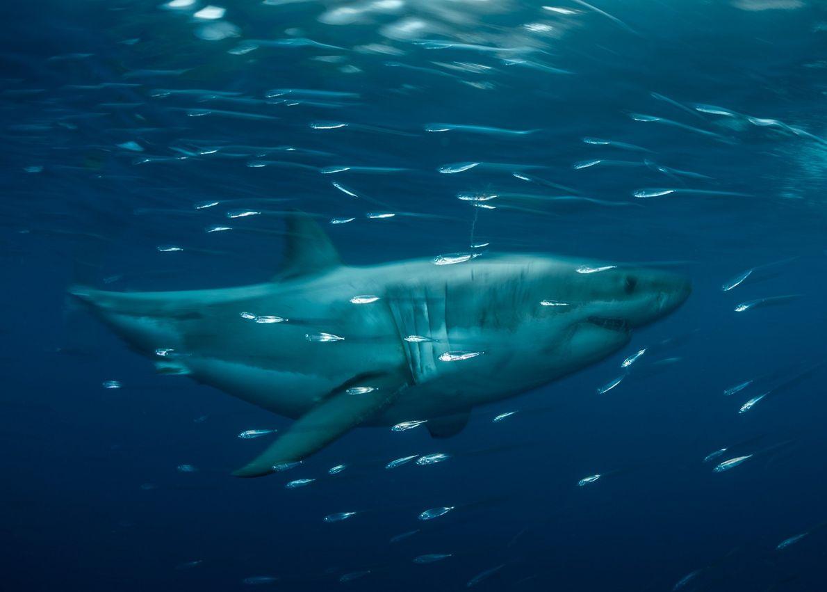 Um tubarão-branco desliza nas águas da Reserva da Biosfera Isla Guadalupe, a 200 quilômetros da costa. ...