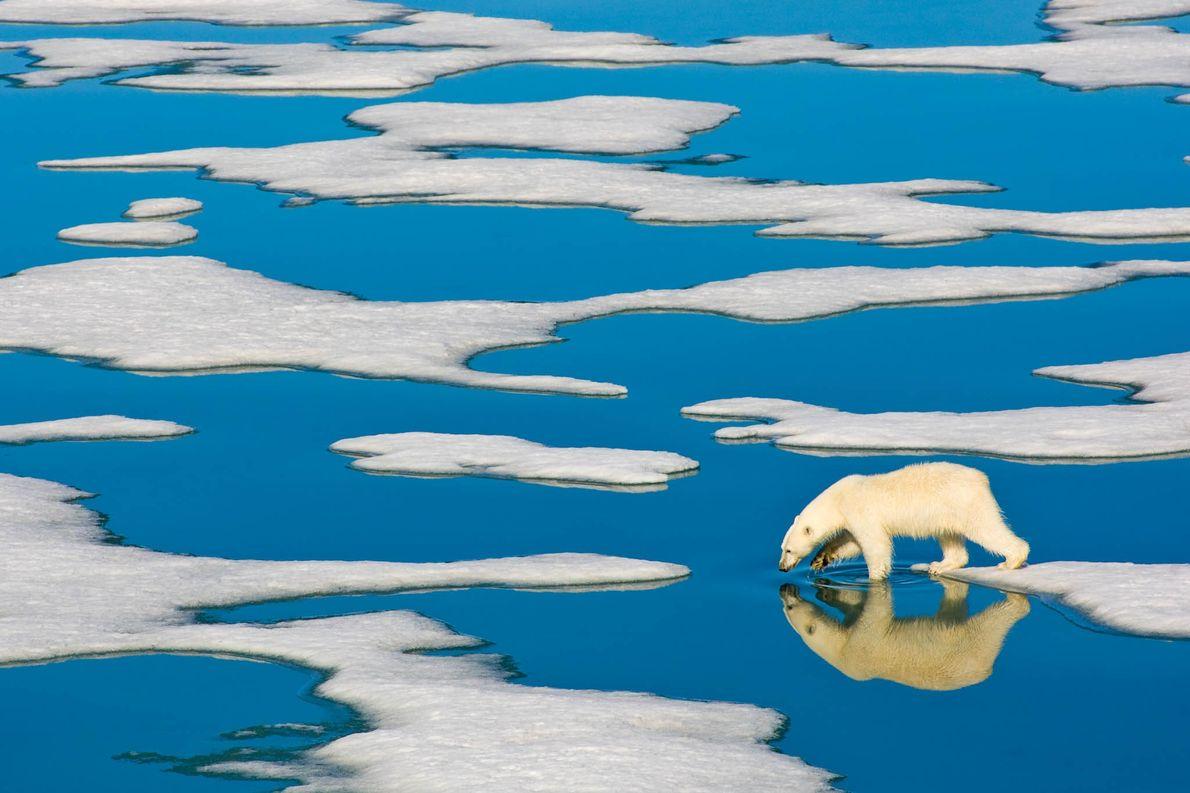 A lone polar bear walks on Arctic pack ice in Spitsbergen, Norway.