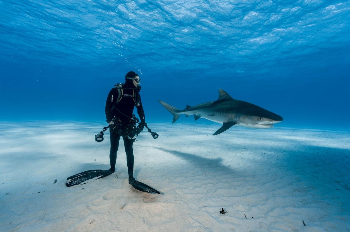 A diver keeps a close watch on a tiger shark in the Bahamas.