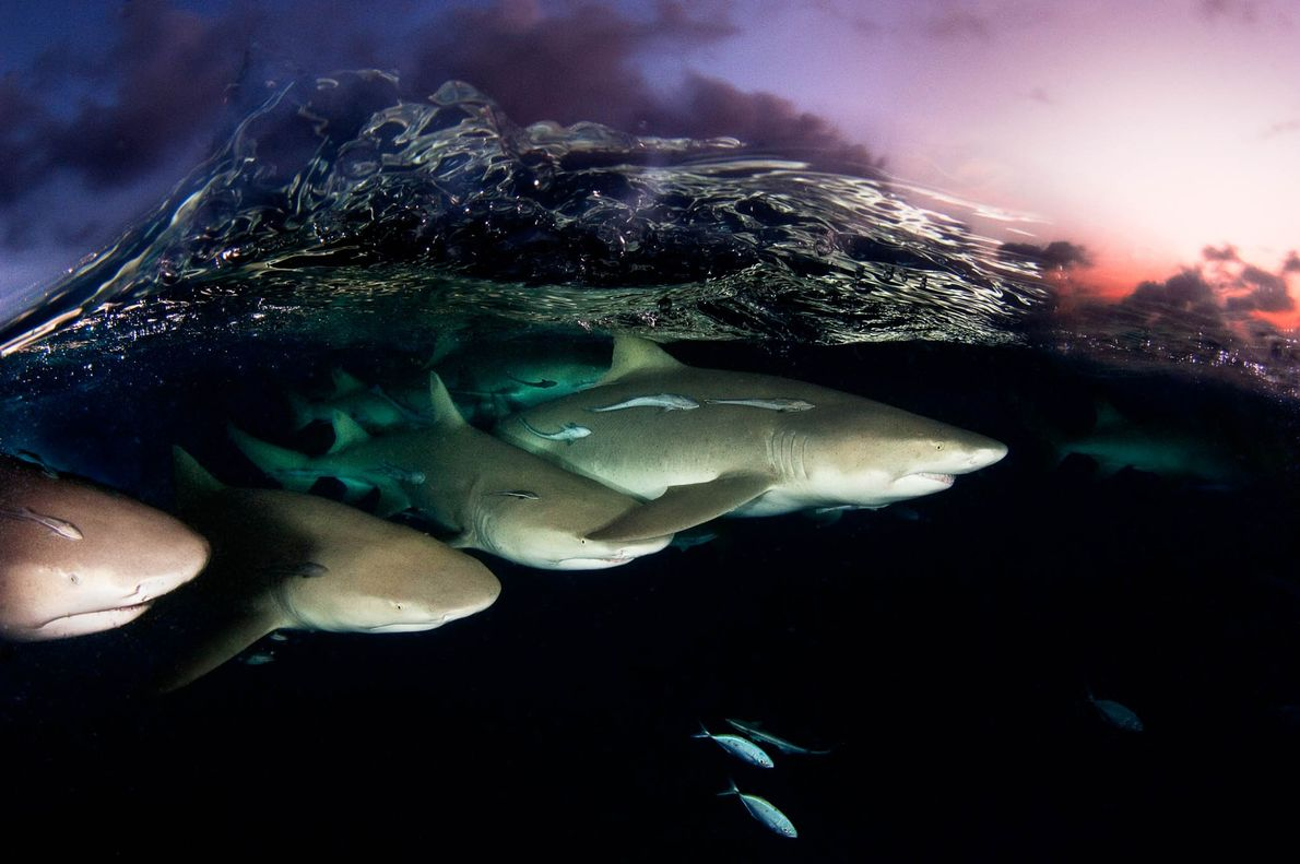 Lemon sharks patrol during sunset in the Bahamas.