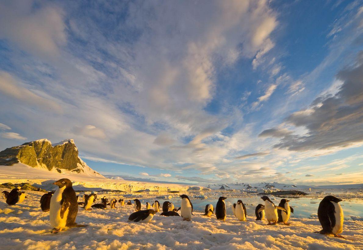 Adélie penguins rest on a coastal snow field at Holtedahl Bay in Antarctica.