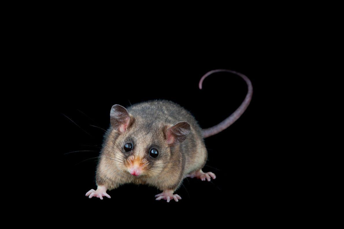roedor-pigmeu