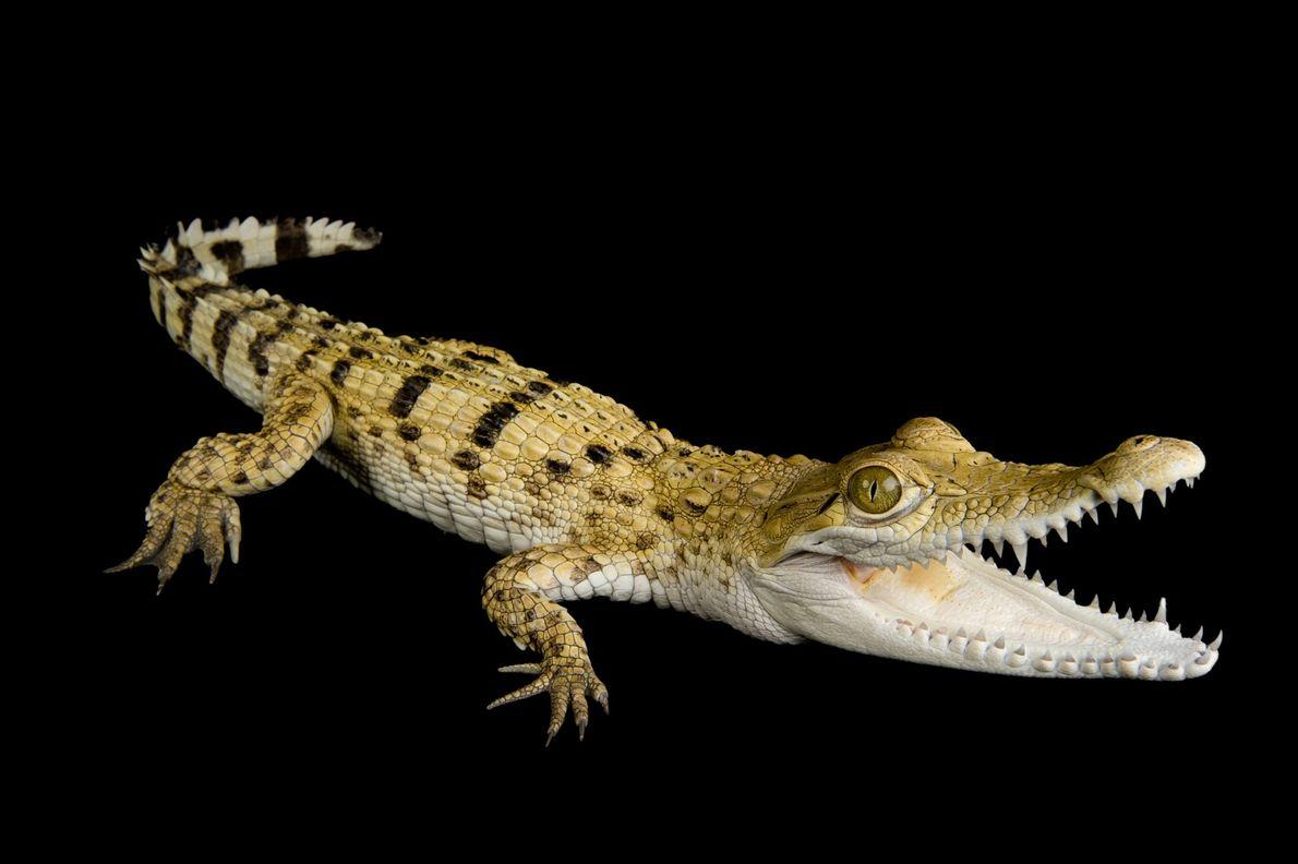 crocodilo-filipino