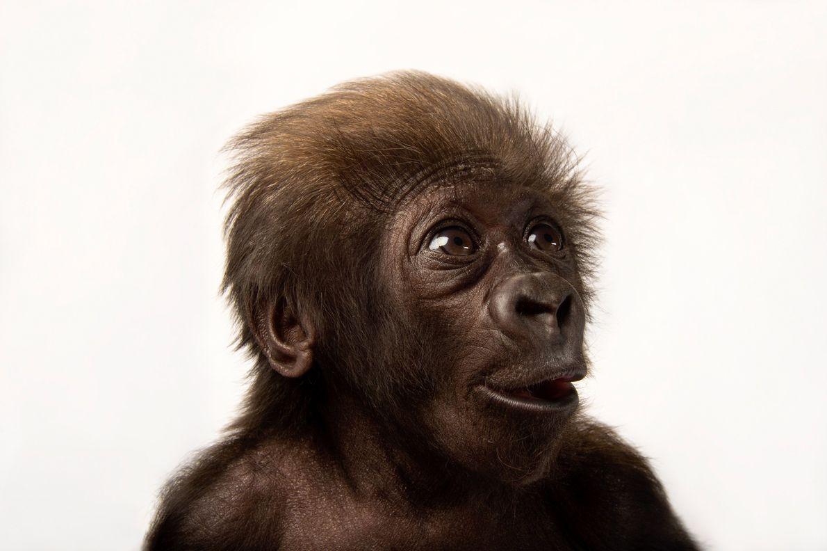 gorila-ocidental-das-terras-baixas