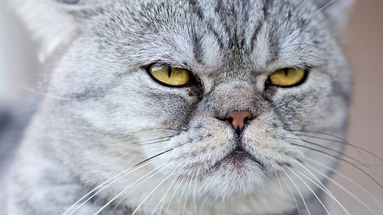 Como gatos entendem os humanos