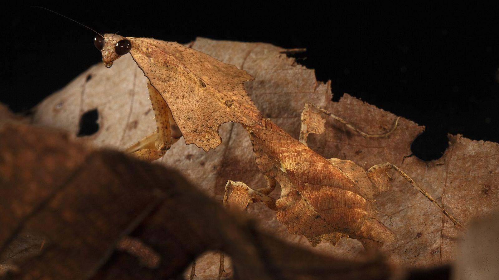 Ponta de flecha mata louva-a-deus camuflado de folha em cama de folhas