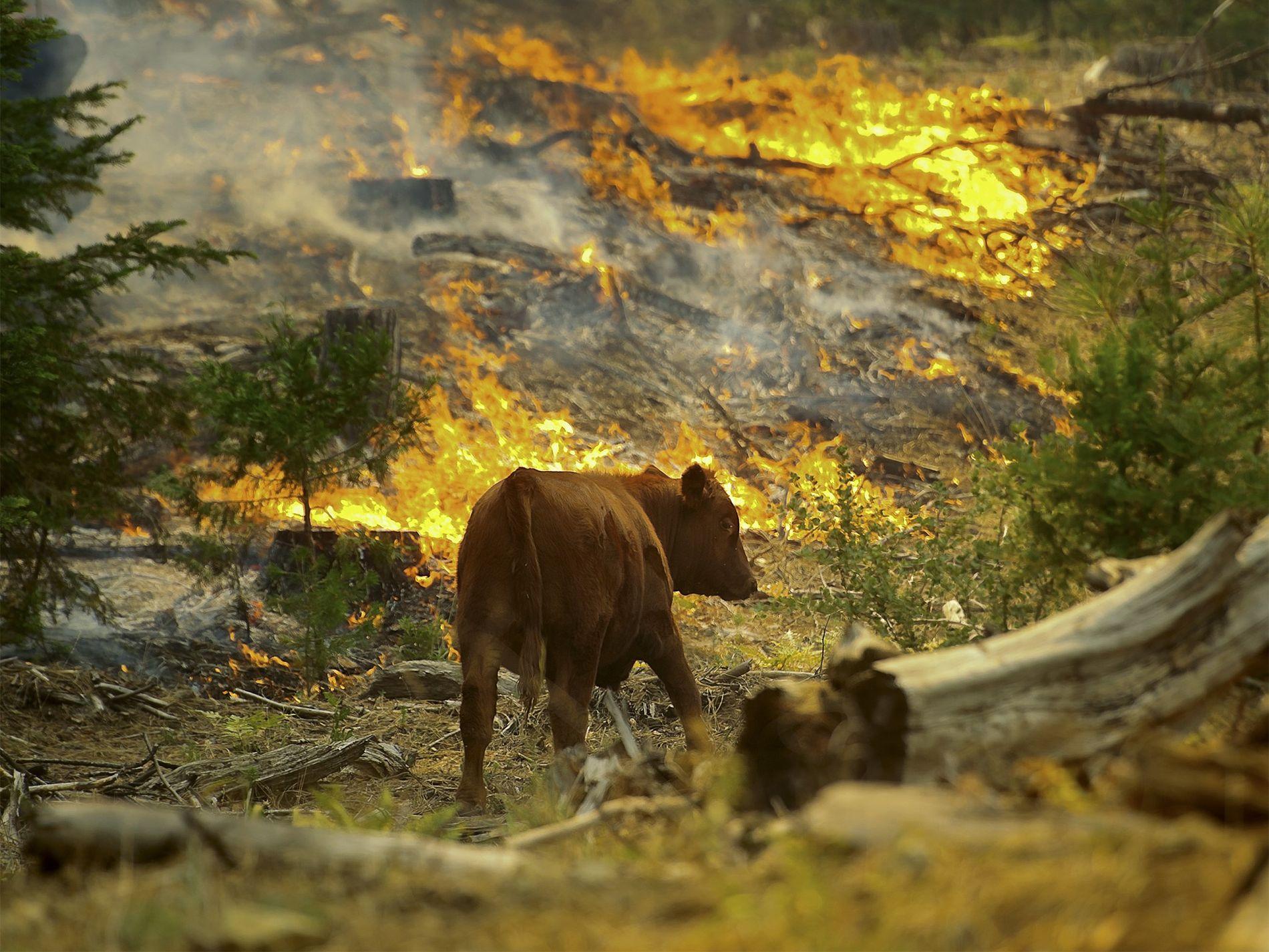 Vaca caminha pelas chamas no incêndio Rim, perto do Parque Nacional de Yosemite em Groveland, Califórnia.