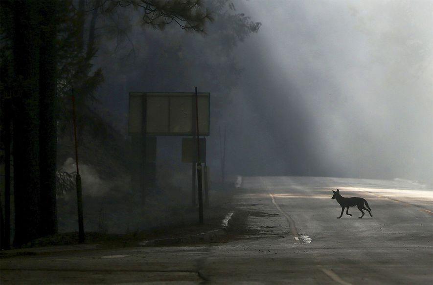 Um coiote atravessa a Rodovia U.S. 120, fechada devido ao incêndio Rim perto de Groveland, Califórnia.