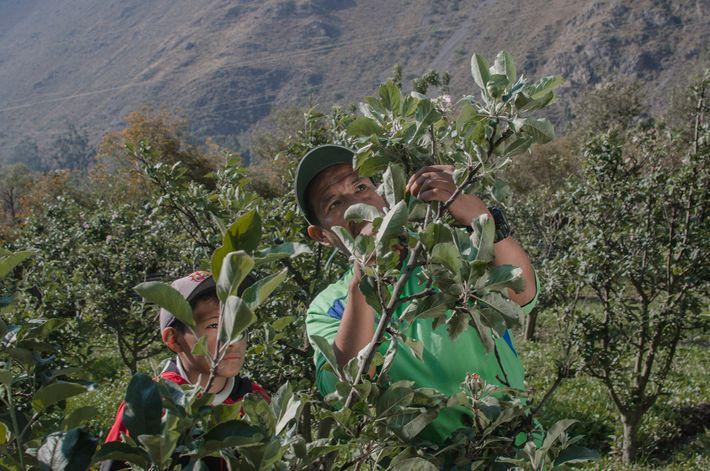 Fernando Condori Torres e seu filho Gonzalo cuidando de macieiras em frente ao sítio arqueológico de ...