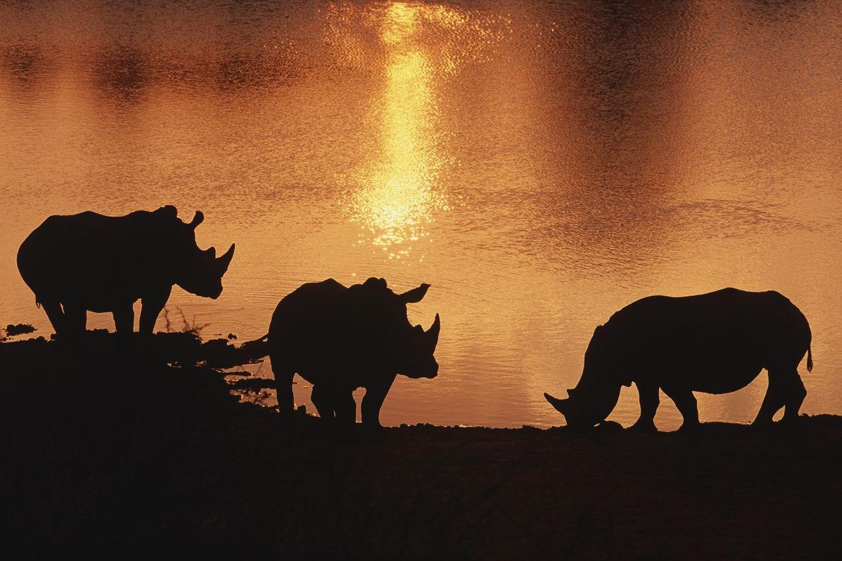 rinocerontes lago