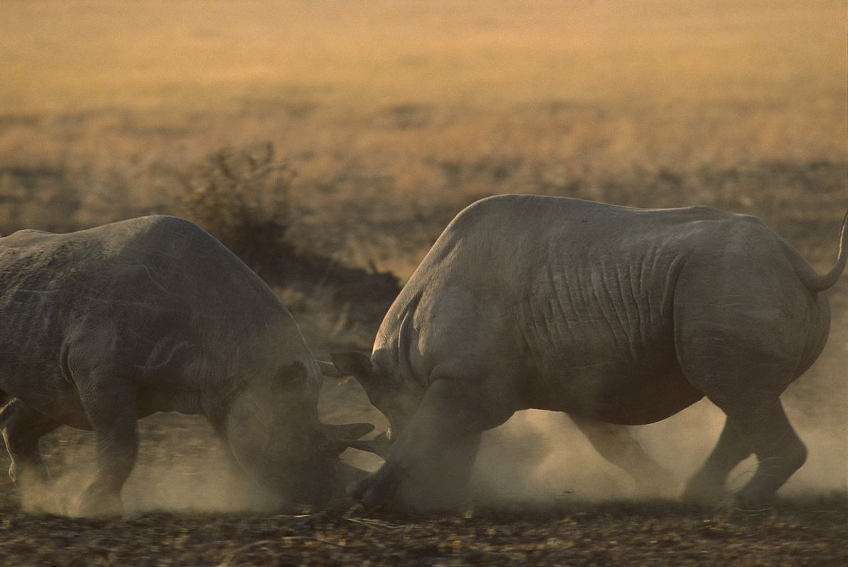 duelo de rinocerontes