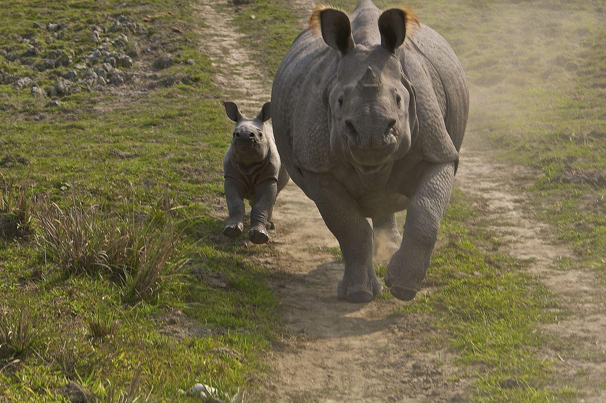 Rinocerontes caminhando