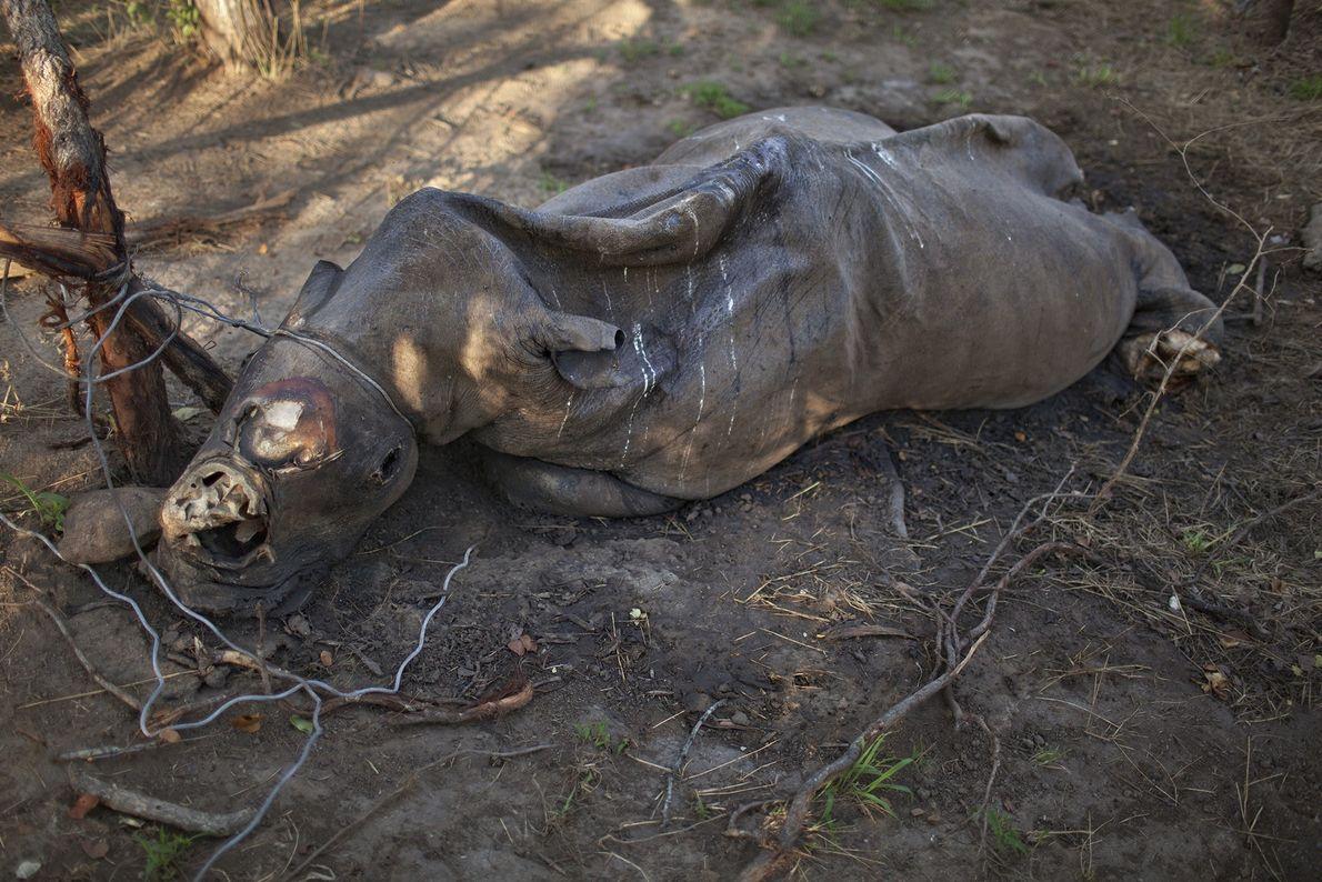 rinoceronte morto por caça